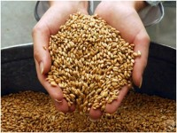 В Ростовской области идет к завершению уборка озимых зерновых культур.