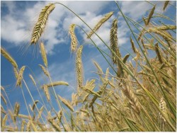 Урожай зерновых ниже  на 16% уровня прошлого года.